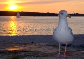 Kiel - Möwe in der Abendsonne