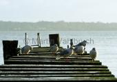 Kiel - Möwen auf Steg im Regen - Skagerrakufer