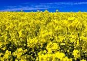 Rapsblüte in Stohl 7