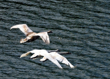 Fliegende Schwäne am Kanal 2