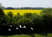 Fliegende Schwäne am Kanal 3