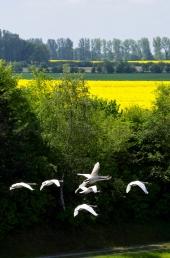 Fliegende Schwäne am Kanal 1