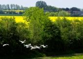 Fliegende Schwäne am Kanal 5